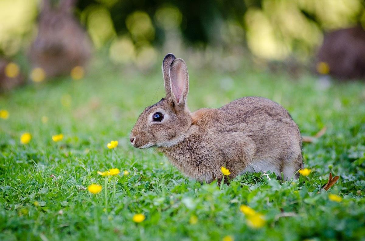 Los conejos de campo son algo diferentes a los conejos domésticos
