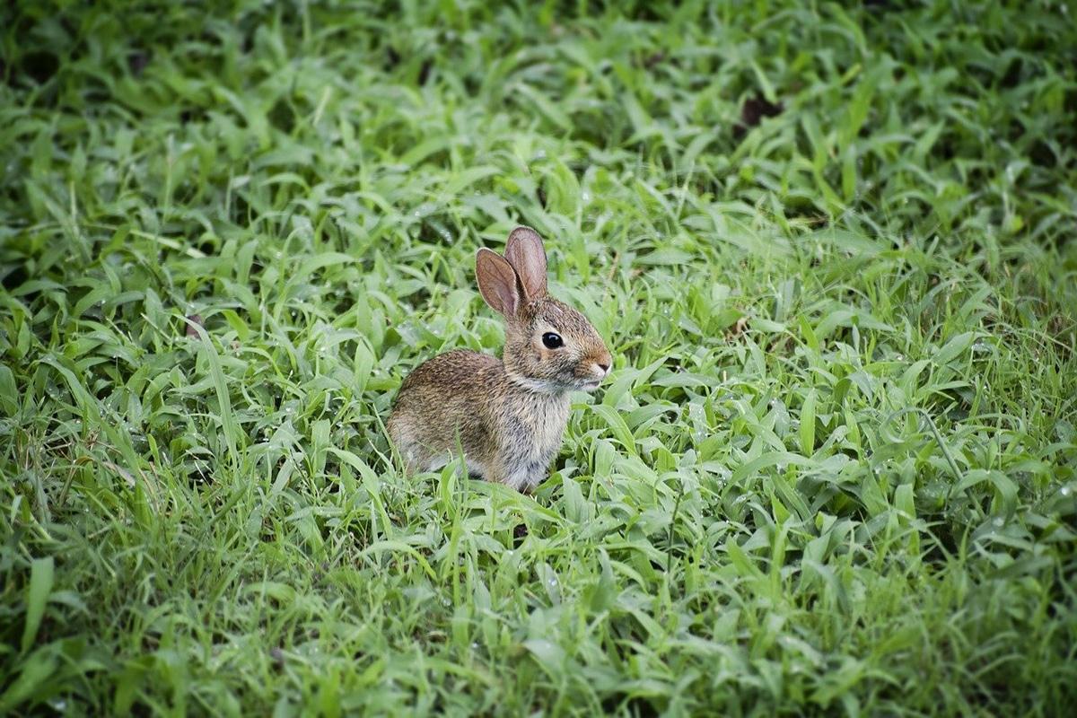 Los conejos de campo son conejos silvestres