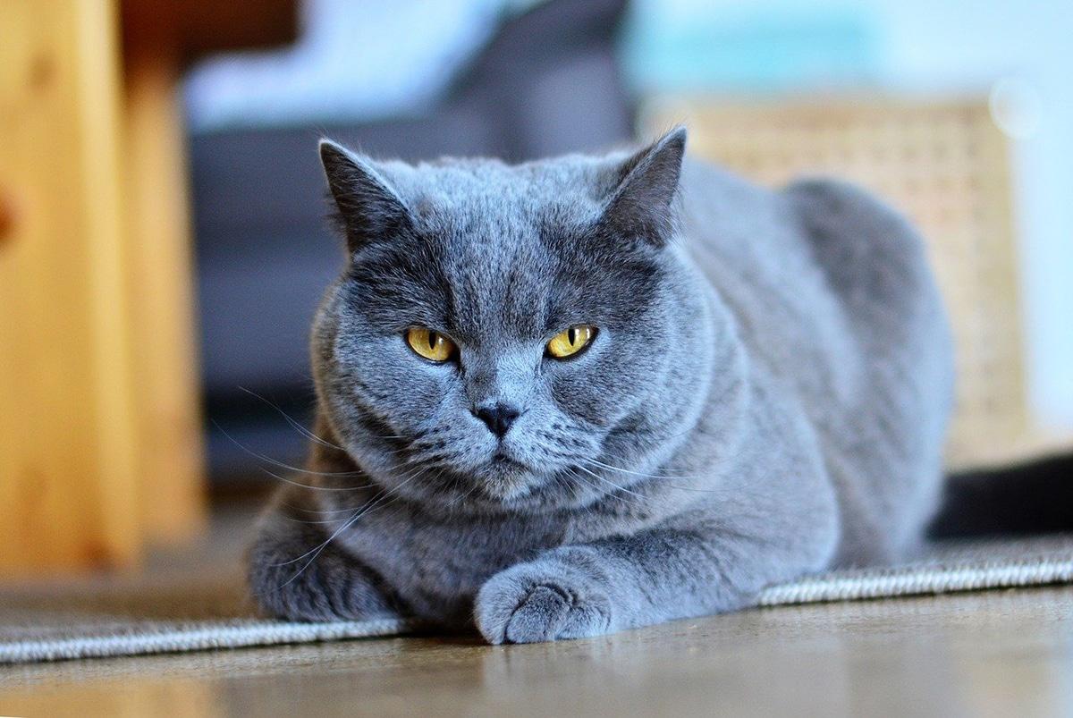 Las razas de gatos grises azuladas son muy deseadas