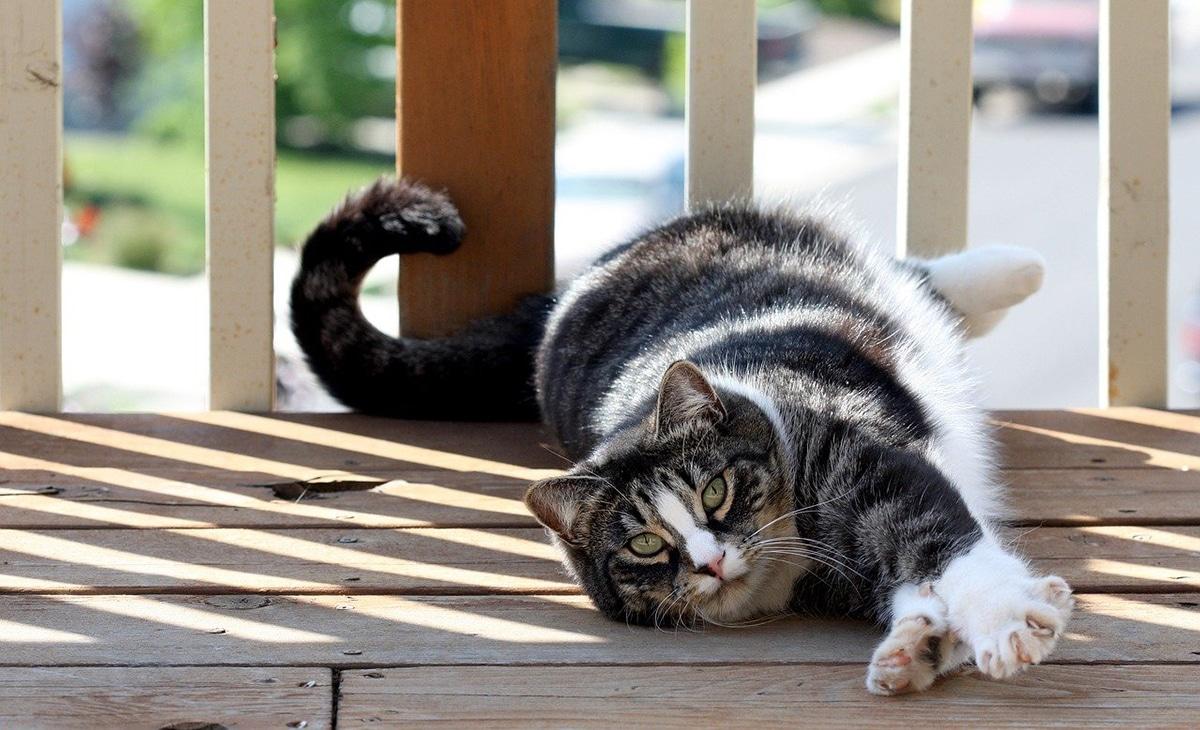 Las razas de gatos grises son muy bonitas