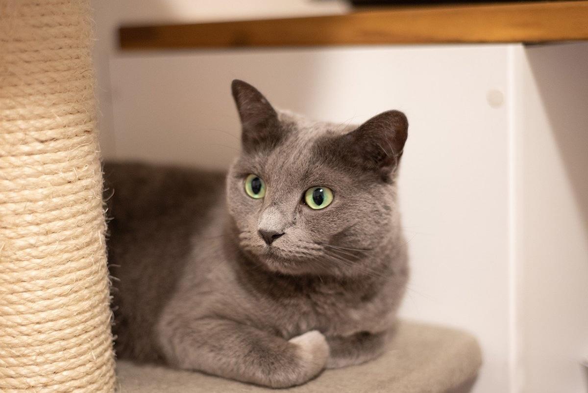 El azul ruso es una de las razas de gatos grises más famosas