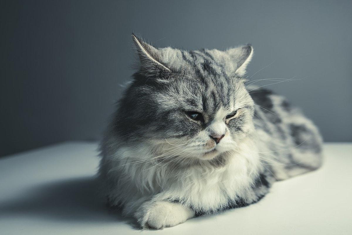 Los gatos persas tienen un carácter muy silencioso y cariñoso