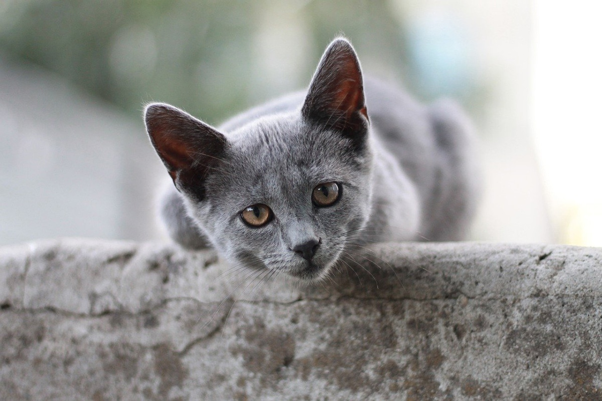 Hay varias razas de gatos grises