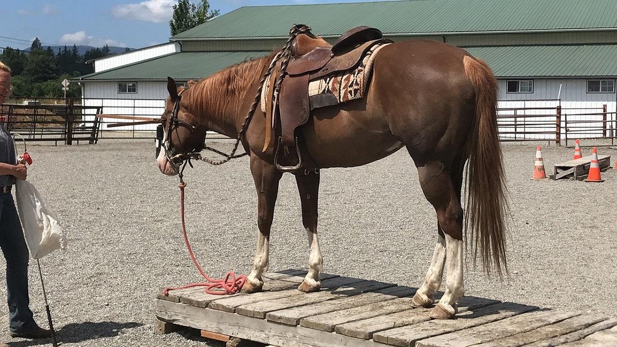 El American Paint es el típico caballo utilizado por los vaqueros
