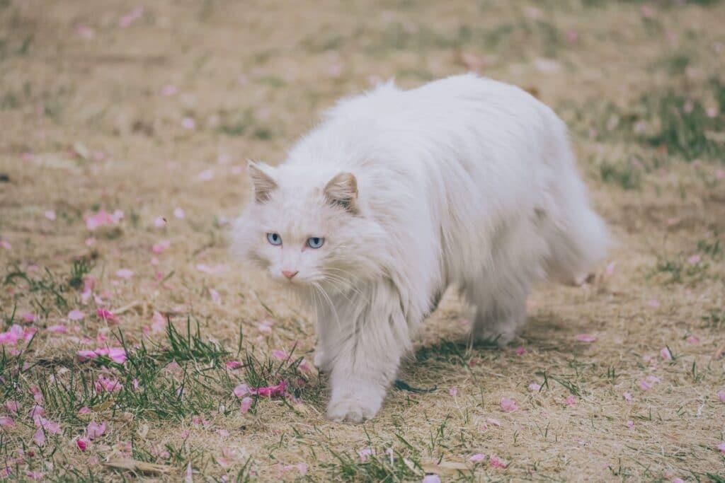 Una gata embarazada andando