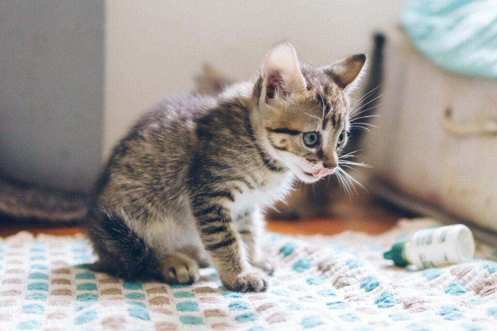 Un gatito con un biberón al lado