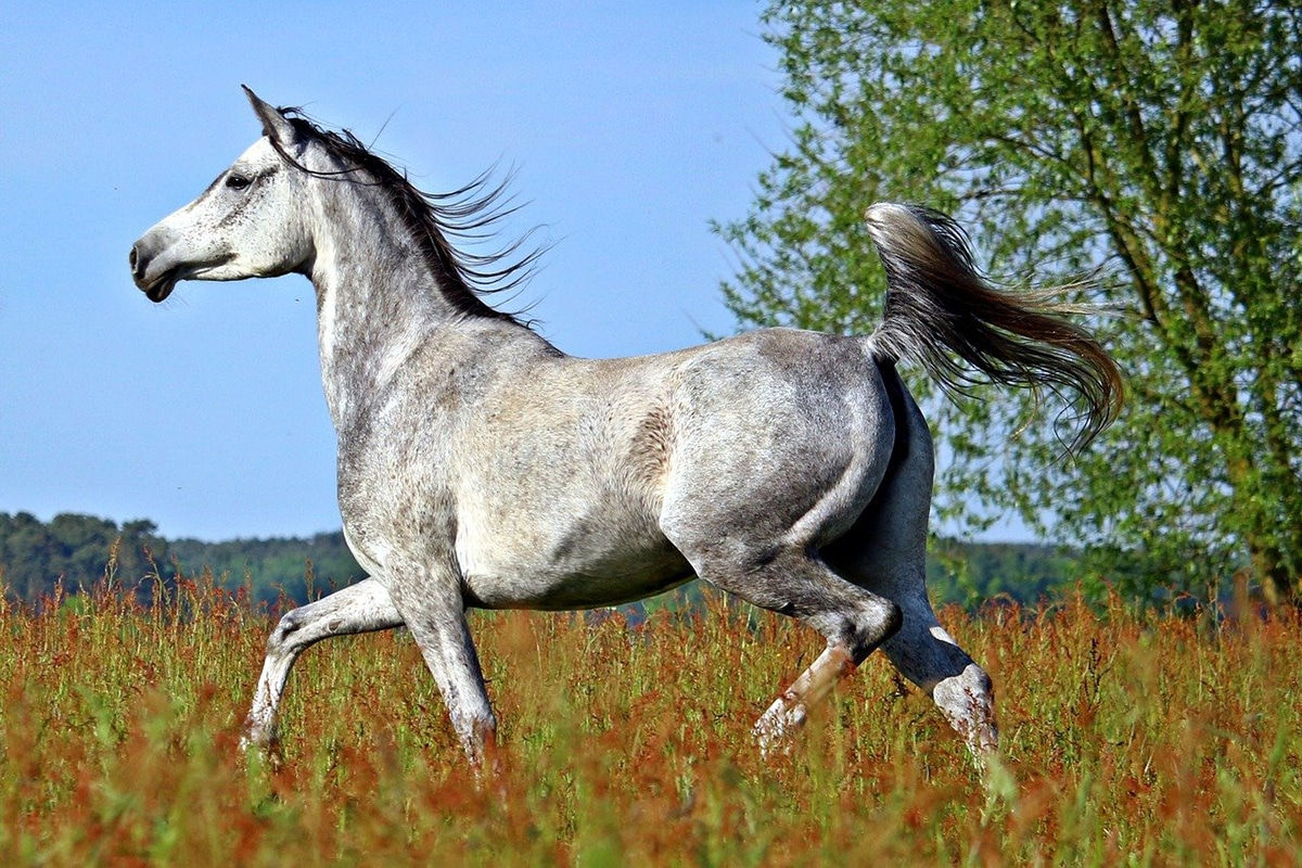 Los caballos árabes son de los más antiguos y los más puros
