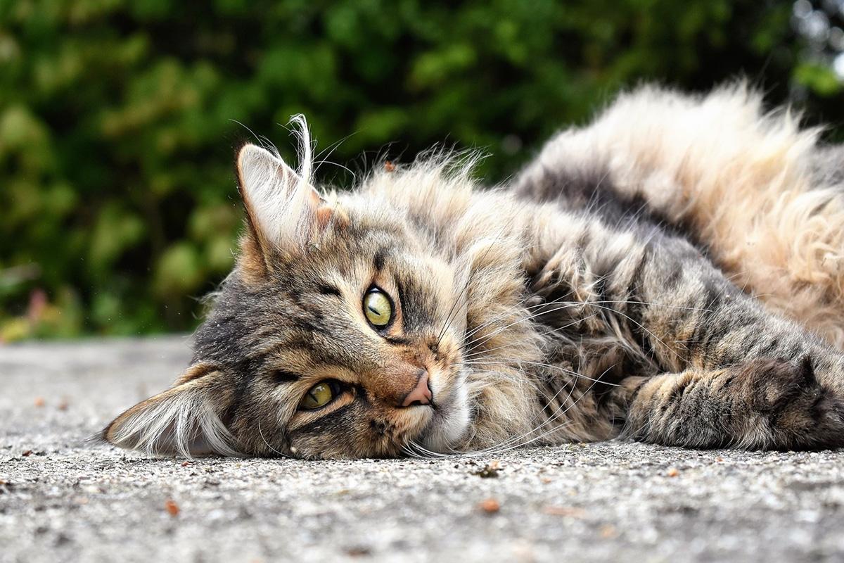 La caspa en gatos se puede deber a su dieta