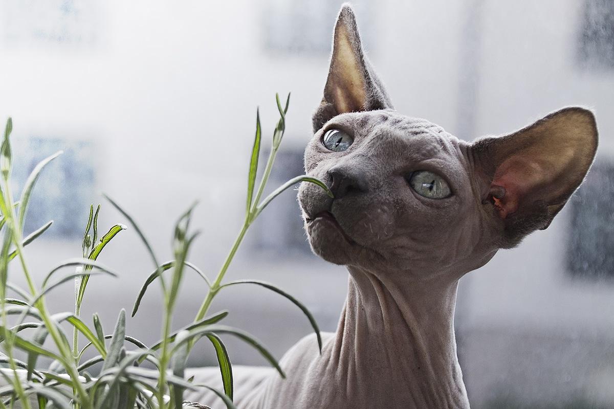 La caspa en gatos se puede deber a hongos