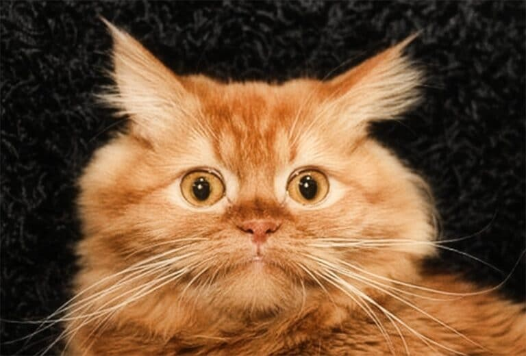 Un gato siberiano, una de las razas consideradas hipoalérgicas