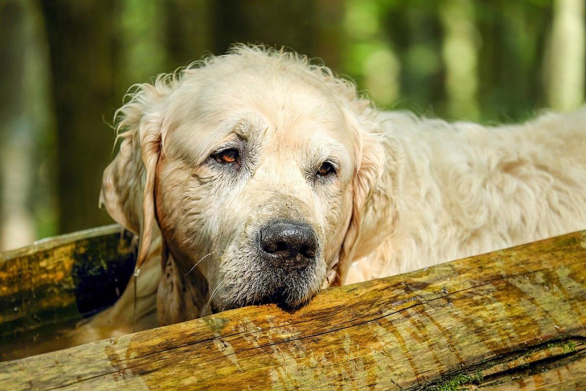 Los perros con artrosis suelen tener temblores