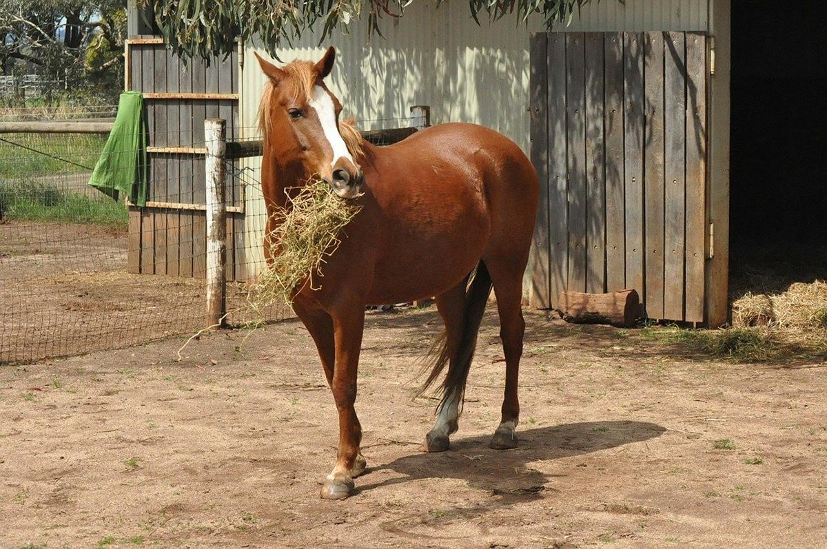 """Sólo existe una raza de caballo que se llama oficialmente """"pura sangre"""""""