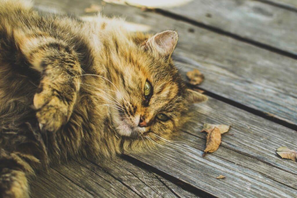 Un gato siberiano, buen compañero para alérgicos