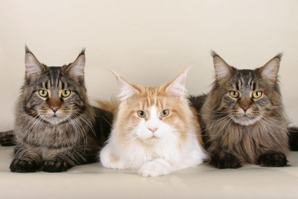 Tres siberianos, se dice que los de pelaje plateado son los que causan más alergias