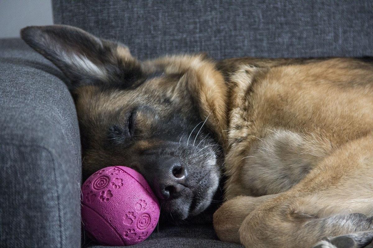 Cuando los perros duermen pueden temblar durante la fase REM