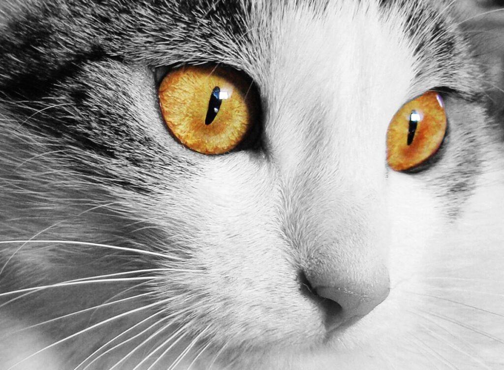 Gato con ojos de color ámbar