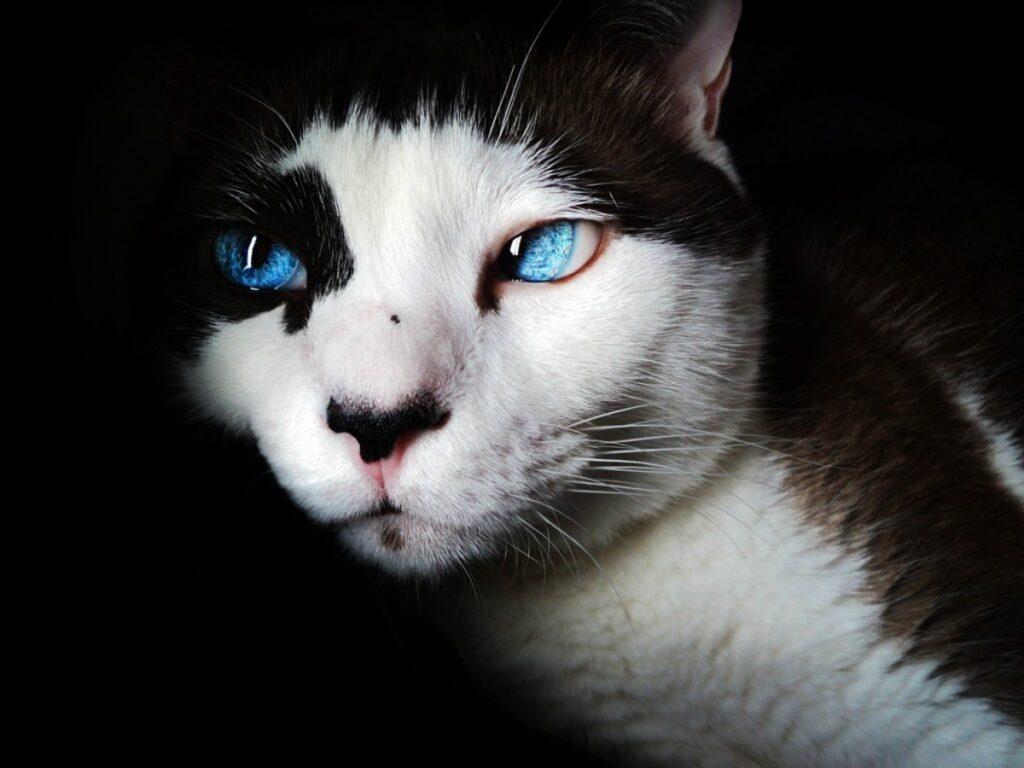 Un gato con ojos azules, se le ve el párpado interior