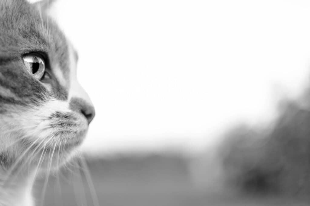 Gato de perfil en blanco y negro