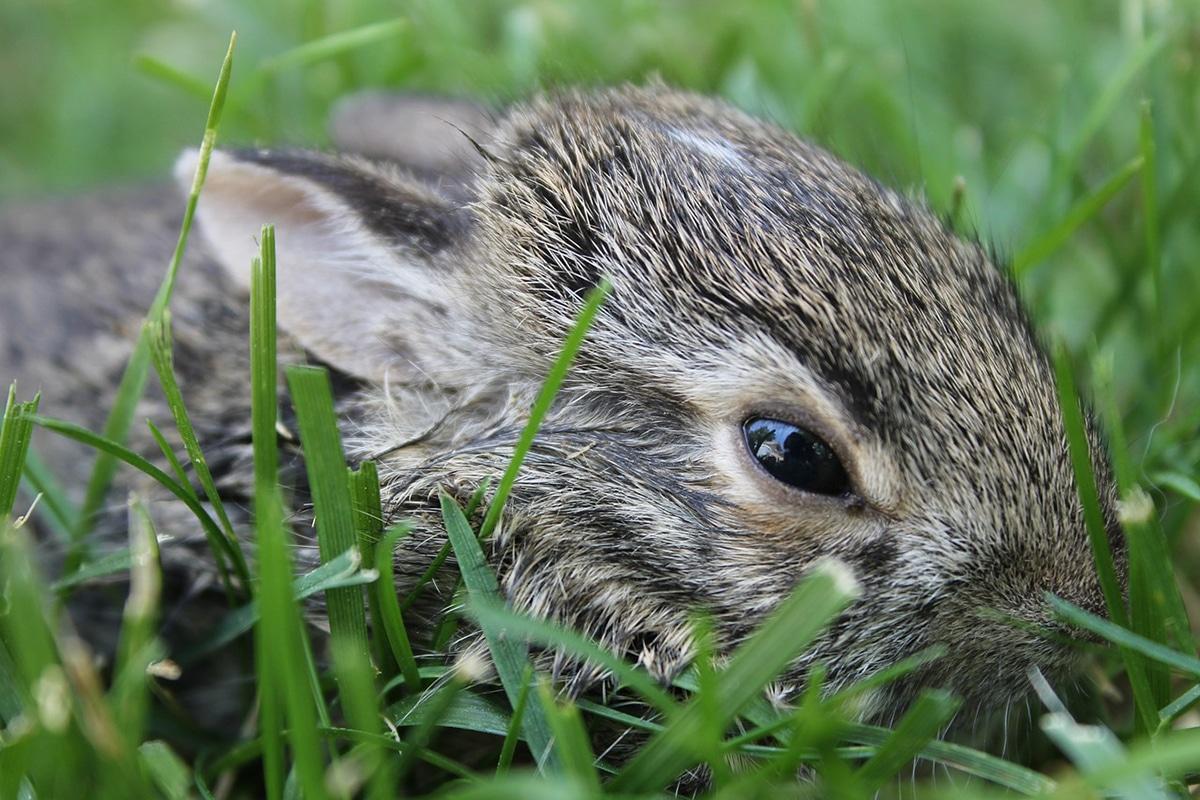 Entre los alimentos que comen los conejos salvajes se encuentran plantas de todo tipo