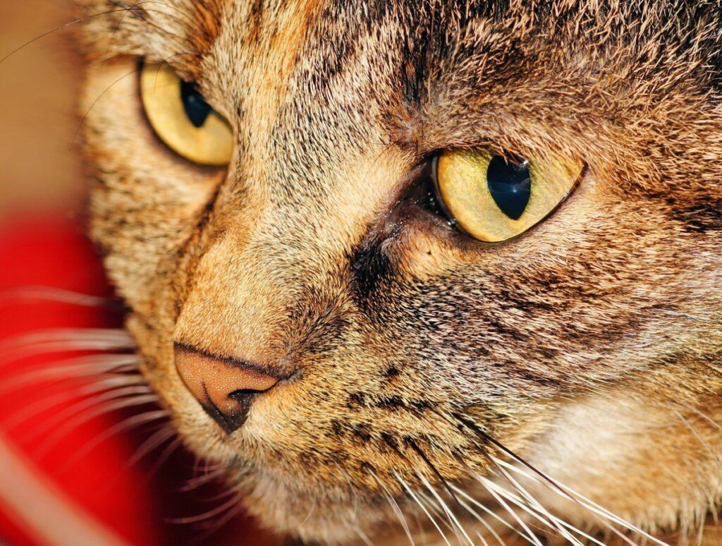 Gato con un ojo lloros, síntoma de conjuntivitis