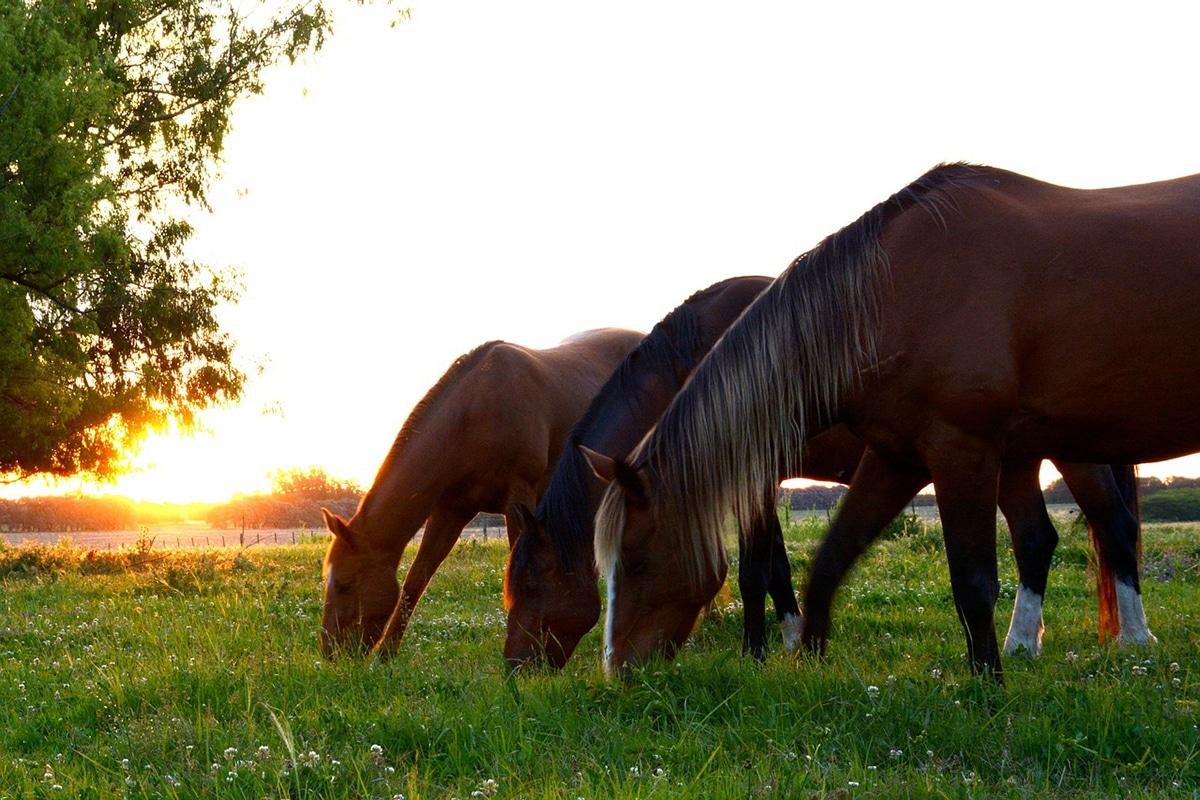 Para saber qué comen los caballos hay que tener en cuenta con son herbívoros