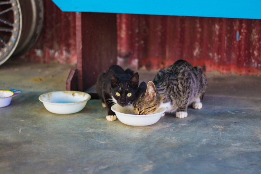 Gatos compartiendo un bol de comida