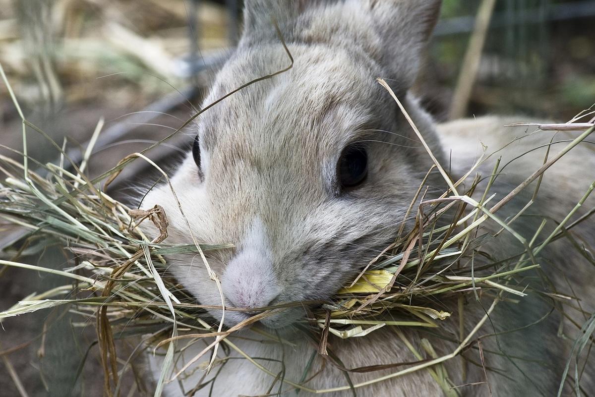 Los conejos siguen una dieta alta en fibra