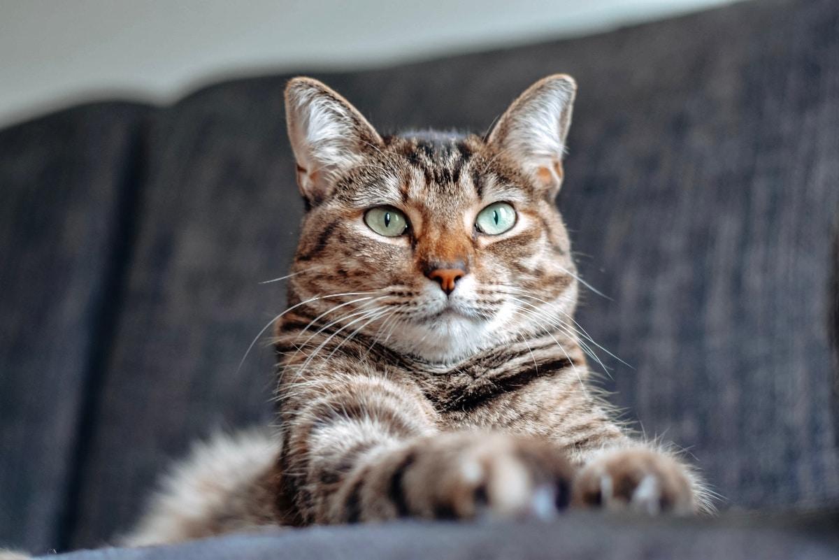 Los gatos ronronean cuando están a gusto