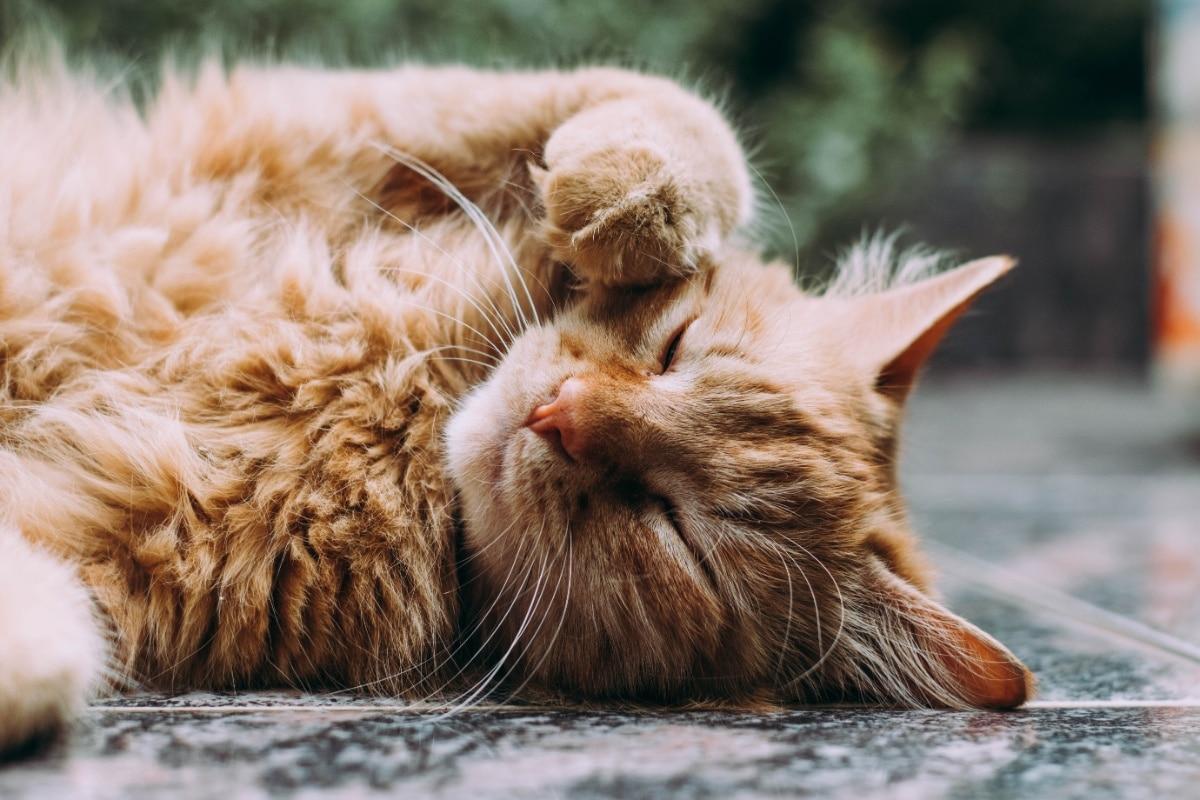 Un gato con la patita en la cara