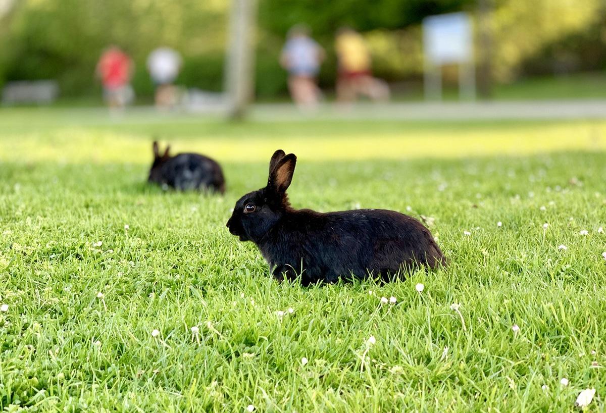 Algunos conejos viven en parques o cementerios