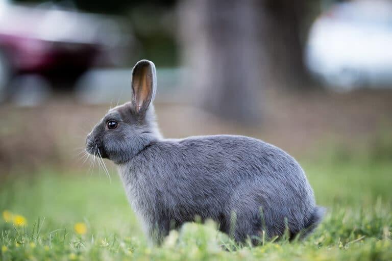 Los conejos viven en madrigueras o conejeras