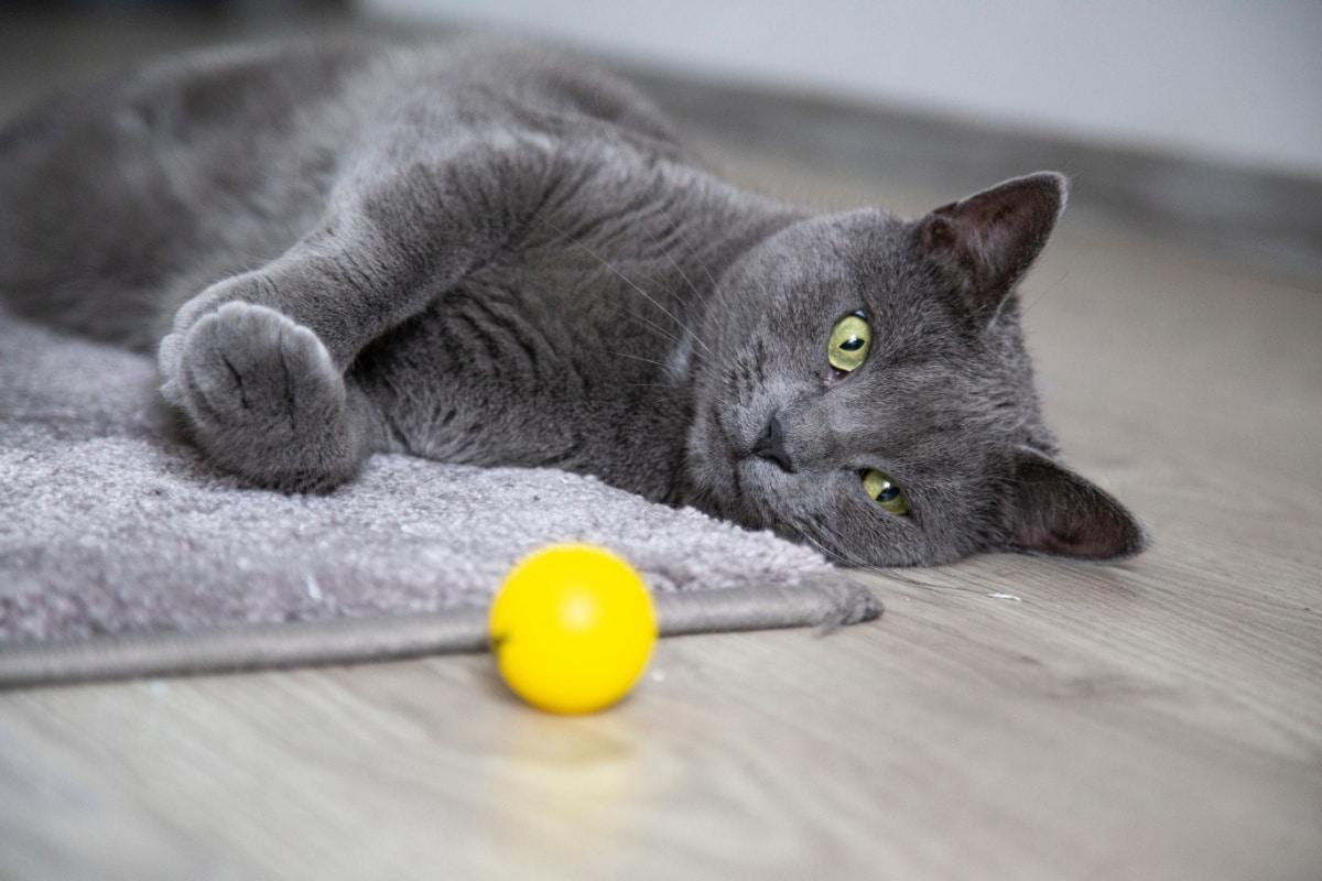 Un gato con una pelota amarilla