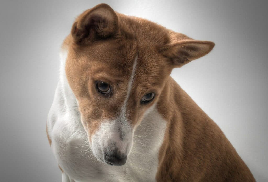 El basenji es la variedad de canes más antigua