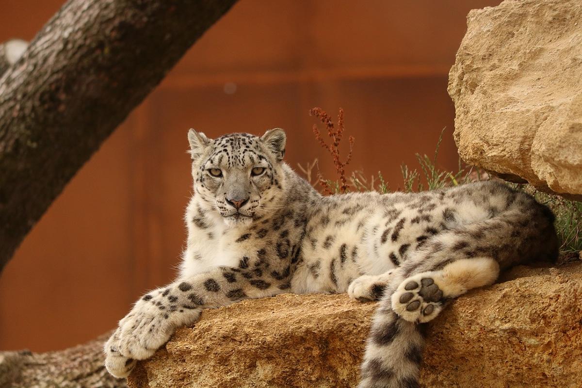 El leopardo blanco es una especie poco estudiada