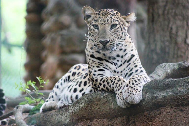 El leopardo blanco es cazado por su piel