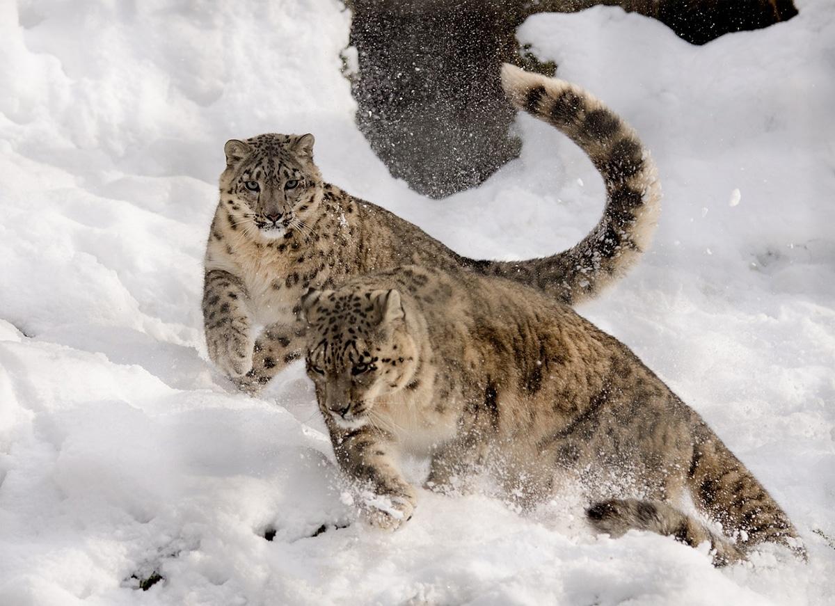 El leopardo blanco es muy territorial