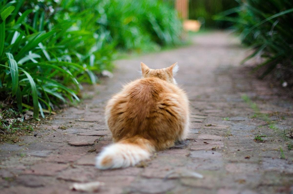 Un gato visto desde atrás
