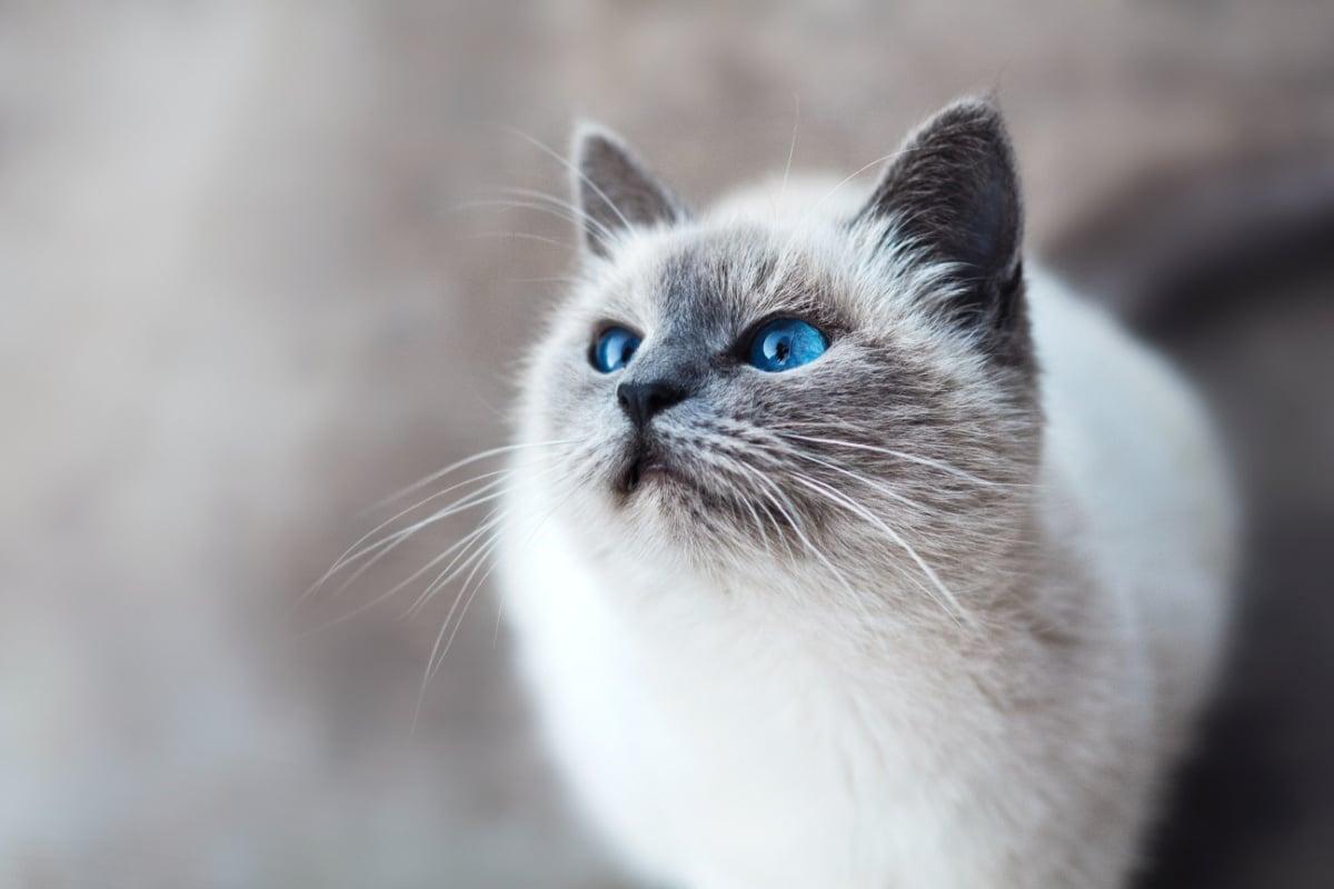 Un gatito con los ojos azules