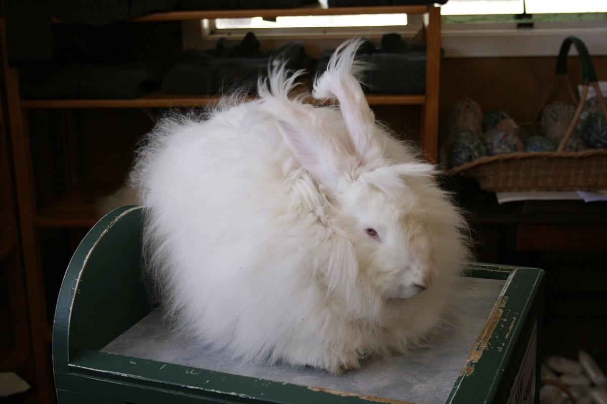 El pelaje del conejo de angora requiere muchos cuidados