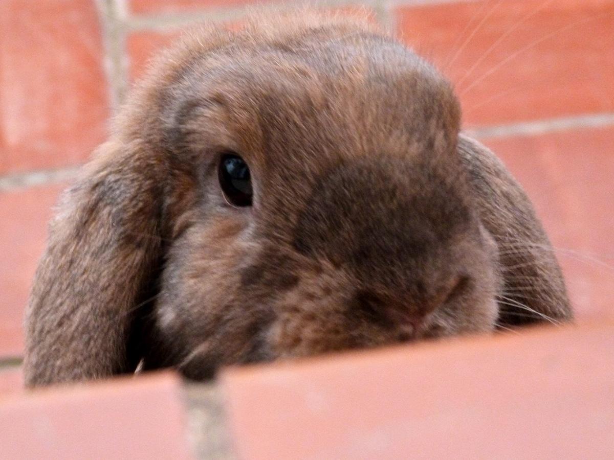 El conejo belier es la raza de conejo más conocida