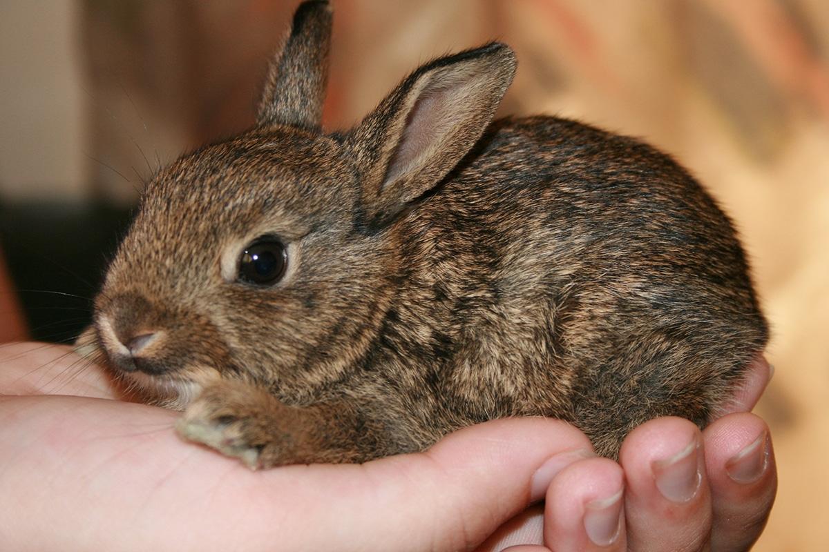 Conocer las características de las razas de conejos puede ayudarnos a escoger uno