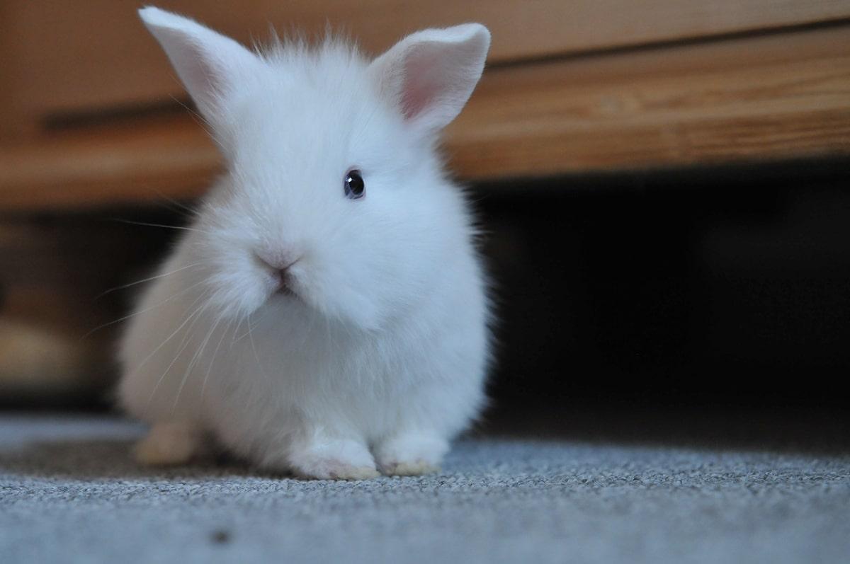 Los cuidados que requieren los conejos varían según la raza