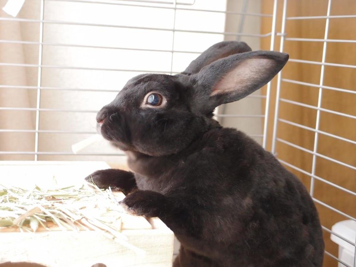 De todas las razas de conejos, el Mini Rex se caracteriza por su pelaje aterciopelado